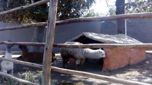 Zwierzęta w Muzeum Alpaki w Arequipie